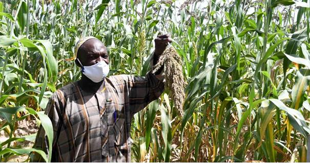 M. Madou Goita, Président de la Coopérative Seneyiriwaton nous montre des plants de son champ de sorgho